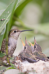 La Jolla, California; a female Anna's Hummingbird (Calypte anna) sitting on the edge of her nest feeding her two, two week old chicks