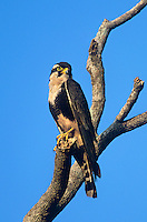 527550010 a wild female aplomado falcon falco femoralis a federally endangered species perches in a dead tree on los ebanos ranch tamaulipas state mexico