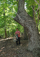 NWA Democrat-Gazette/FLIP PUTTHOFF <br /> Mills enjoys looking for American Indian trail trees, also called signal trees, while hiking May 5, 2016 at Hobbs State Park. Some say the trees were made by American Indians and point the way to water, shelter and other natural features.