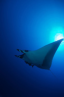 Manta rays swimming underwater around the coast of Maui, Hawaii,this gentle giants live in Hawaiian water year round.<br /> Encounters are rare but magnificent.