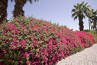 Spectacular bougainvilla hedge in full bloom