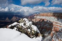 Snow covered tree at view point, Grand Canyon national park, Arizona, USA