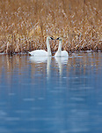 Trumpeter Swans in the Bitterroot Valley in Montana