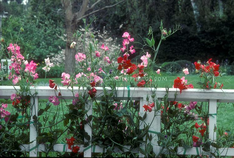 Sweet peas (Lathyrus odoratus) on white fence