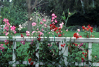 Sweet peas (Lathyrus odoratus) on white fence