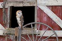 Barn Owl, New Jersey
