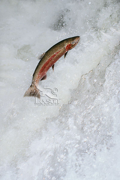 Rainbow Trout or Steelhead