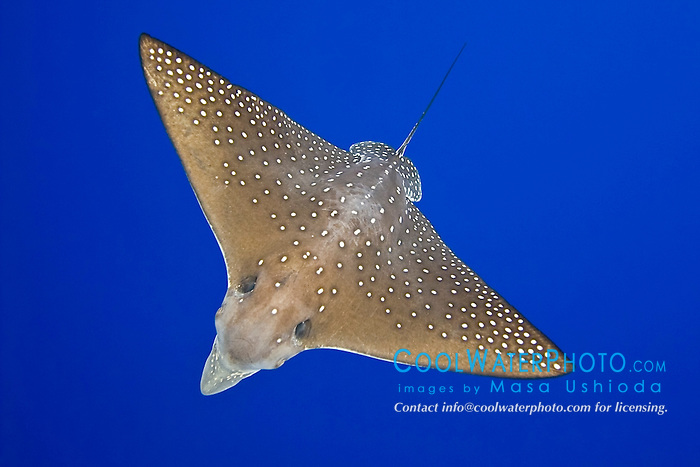 spotted eagle ray, Aetobatus narinari, Kona Coast, Big Island, Hawaii, Pacific Ocean