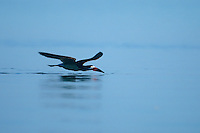 578613007 a wild black skimmer rynchops niger lives up to its name as it skims across a pond at the salton sea national wildlife refuge in california searching for fish