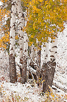 Aspen trees in early autumn snowstorm in Yellowstone National Park