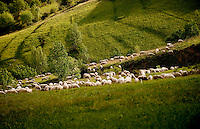 a flock of sheep in the valleys around Cesana Torinese, in the Piedmont region (Italy, 14/06/2010)