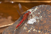 Scarlet Dragonfly male perched (Crocothemis sanguinolenta), South Africa.