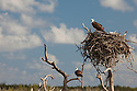 A pair of Osprey (Pandion haliaetus) watching over the nest in a magrove area of Cozumel, Mexico.