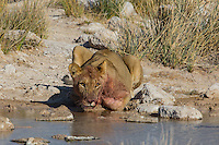 Lioness drinking at Charitsaub Waterhole in Etosha after devouring her hunted zebra. Lioness hunt at Charitsaub Water Hole in Etosha, Namibia
