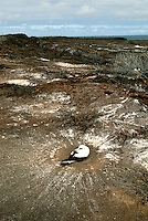 Nazca booby's in the Galápagos nest on the ground and poop in a circle as they change their orientation in the nest throughout the day as the sun moves across the landscape. The droppings also create an alkaline barrier against insects..