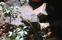 REPTILES &amp; AMPHIBIANS<br /> Desert Collared Lizard<br /> Crotaphytus<br /> Grand Canyon NP