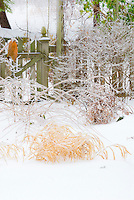 Hakonechloa macra Aureola in winter snow and ice, with stems of Kolkwitzia Dream Catcher behind it, and foliage of Physocarpus Coppertina at top left, dwarf Syringa (lilac) and Aster at right, and picket fence . Note that Physocarpus 'Coppertina' aka Mindia is called Physocarpus opulifolius 'Diable D'Or' aka Mindia in Europe.