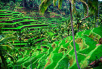 Rice terraces near Tegalalang (near Ubud), Bali, Indonesia
