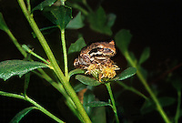 481507004 a wild pacific treefrog hyla regalia perches on a small flowering plant in santa barbara county california