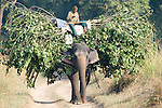 Mahout man riding elephant carrying tree branches and leaves for food, Elephas maximus, Corbett National Park, Uttarakhand, Northern India, domestic.India....