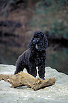 Black Poodle by the creek<br />