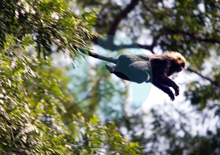 20080131_Periyar, India_ Nilgiri langur (a type of monkey),  in the Periyar Wildlife Sancuary in the Southern Indian state of Kerala.  Photographer: Daniel J. Groshong/Tayo Photo Group