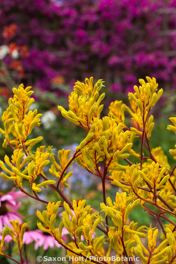 Yellow flower perennial with maroon red stems, Kangaroo Paw - Anigozanthos 'Harmony' in drought tolerant summer-dry California garden;