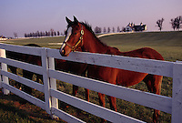 Curious yearling thoroughbred on Manchester Farm in Kentucky.