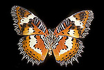 Tropical butterfly Cethosia hypsia