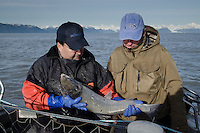 Bill Webber and Duke Moscrip with Freshly Caught Wild Coho Salmon on the Copper River Delta, Cordova, Alaska, US