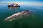 An adult femal gray whale in Bahia de Magdalena, one of the birthing grounds of this species on the Pacific Ocean side of the Baja peninsula in Mexico