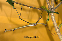 OR07-568z  Walking Stick Insect, Ctenomorphodes briareus