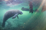Manatee Near Propeller At Three Sisters Spring