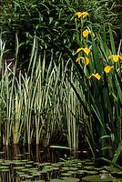Iris pseudacorus (yellow flag) with flowers, and Acorus calamus 'Variegatus' (variegated sweet flag) in Cypress Pond, Van Dusen Botanical Garden, Vancouver, BC.
