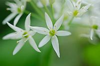 Flowers of Wild Garlic