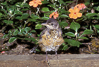 Fledgling robin, Turdus migratorius, fluffy and vulnerable perched on edge of flower bed looking around