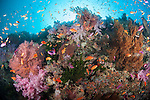 Bligh Waters, Vatu I Ra Passage, Fiji; an aggregation of Scalefin Anthias fish swimming above pink and purple soft corals, gorgonian sea fans, dark green Black Sun Corals and orange sponges on a rocky reef wall, with the sun visible overhead