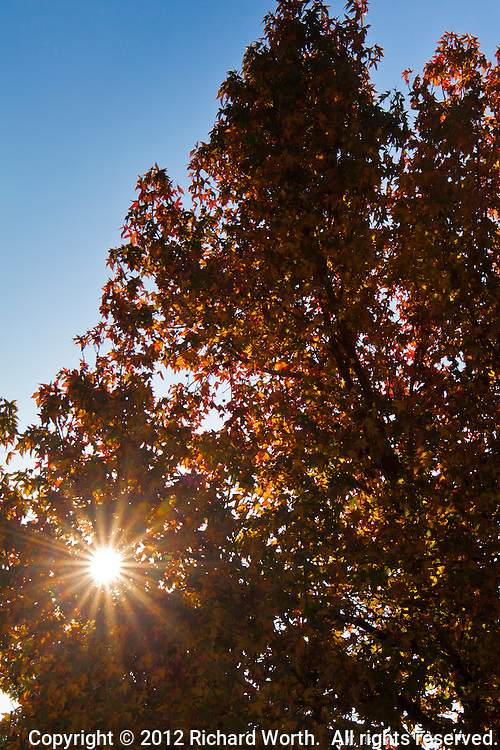 A mild January has left a tree lush with fall color as the sun pokes through at an East Bay office complex.