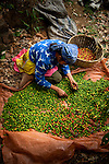 Coffee picker sorts through her coffee cherries on a coffee farm in western El Salvador.