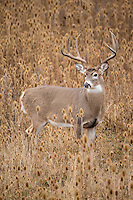 Western whitetail buck during the rut in Montana