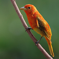 The only entirely red bird in North America, the Summer Tanager is a bird of southern forests. It specializes in eating bees and wasps, both in the summer and on its wintering grounds in Central and South America. First year male in Spring.