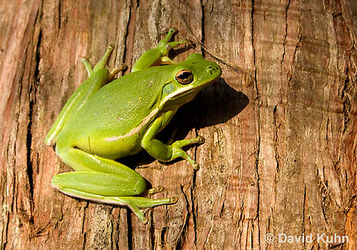 1218-1008  American Green Treefrog Climbing Tree, Hyla cinerea  © David Kuhn/Dwight Kuhn Photography