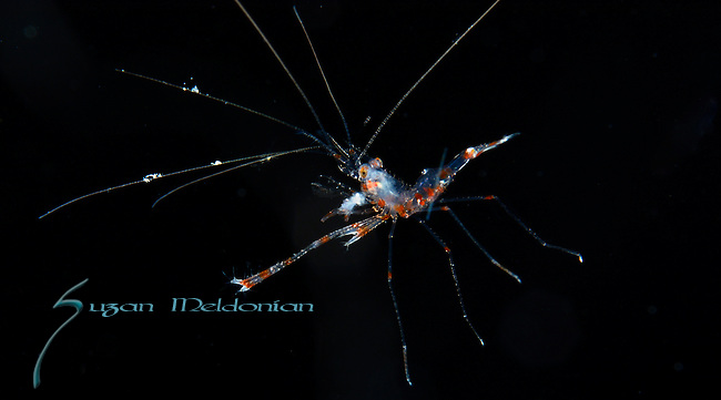 Banded coral shrimp larva, Stenopus hispidus on black water dive, Gulfstream current, Atlantic ocean