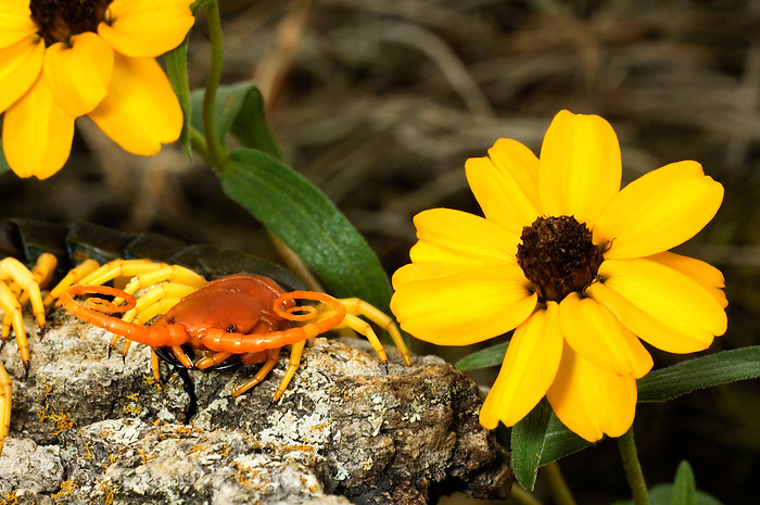 329750028 a wild texas giant centipede scolopsendra heros sits by bright yellow wildflowers in the texas hill country in central texas