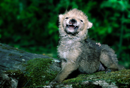 Coyote pup approximately 6 weeks old smiling widely in greeting