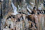 Alkefjellet, a large bird colony in Arctic Svalbard, Norway.  A glaucous gull steals an egg from underneath a guillemot