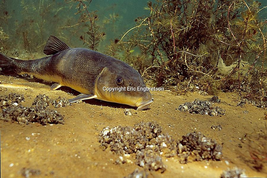 White sucker engbretson underwater photography for Freshwater sucker fish