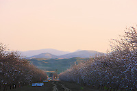 Hives in an orchard full of almond trees as far as the eye can see.