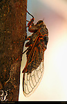 Apache Cicada, Diceroprocta apache, Abiquiu, New Mexico