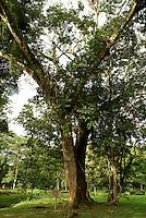Guanacaste tree, the national tree of Costa Rica, at  Lancetilla Botanical Garden, Honduras. Lancetilla Garden was established by American botanist William Popenoe in 1926.